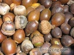 acorn Urdu Meaning