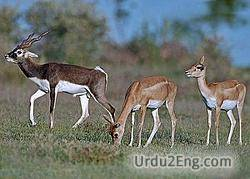 antelope Urdu Meaning