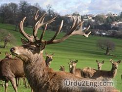 antler Urdu Meaning
