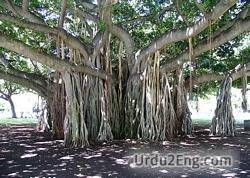 banyan Urdu Meaning