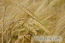barley Urdu Meaning