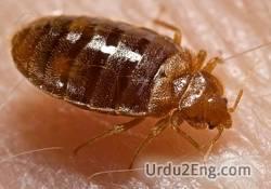 bedbug Urdu Meaning