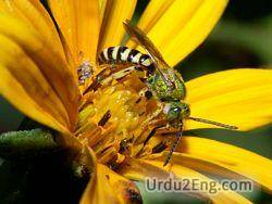 bee Urdu Meaning