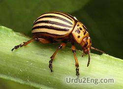 beetle Urdu Meaning