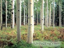 birch Urdu Meaning