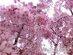 blossom Urdu Meaning