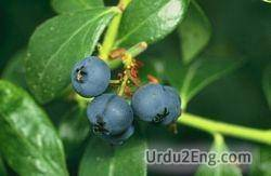 blueberry Urdu Meaning