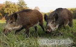 boar Urdu Meaning