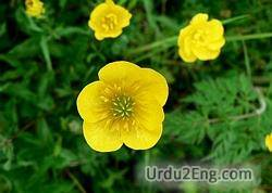 buttercup Urdu Meaning