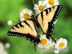 butterfly Urdu Meaning