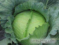 cabbage Urdu Meaning