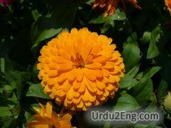 calendula Urdu Meaning