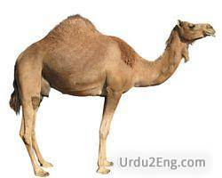 camel Urdu Meaning