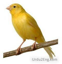 canary Urdu Meaning