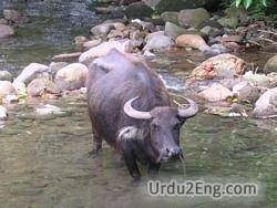 carabao Urdu Meaning