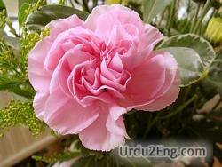 carnation Urdu Meaning
