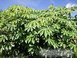 cassava Urdu Meaning