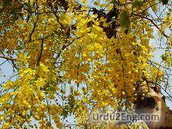 cassia Urdu Meaning