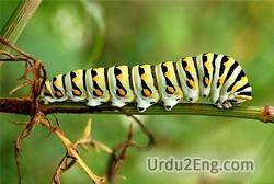 caterpillar Urdu Meaning