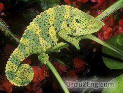 chameleon Urdu Meaning