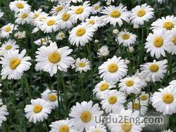 chamomile Urdu Meaning