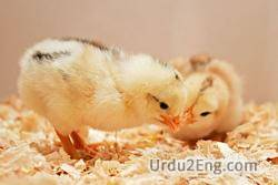 chick Urdu Meaning