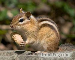 chipmunk Urdu Meaning