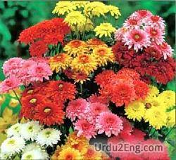 chrysanthemum Urdu Meaning