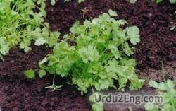 cilantro Urdu Meaning