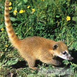coati Urdu Meaning