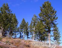 conifer Urdu Meaning