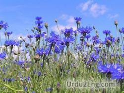 cornflower Urdu Meaning