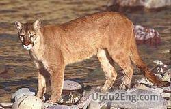 cougar Urdu Meaning