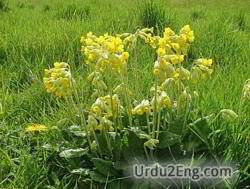 cowslip Urdu Meaning