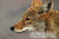 coyote Urdu Meaning