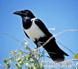 crow Urdu Meaning