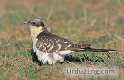 cuckoo Urdu Meaning