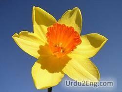 daffodil Urdu Meaning