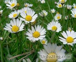 daisy Urdu Meaning