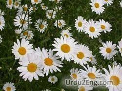 daisy Urdu Meaning