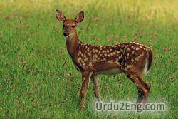 deer Urdu Meaning