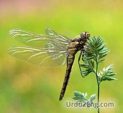 dragonfly Urdu Meaning
