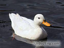 duck Urdu Meaning