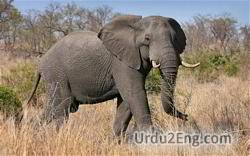 elephant Urdu Meaning