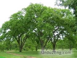 elm Urdu Meaning