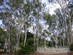 eucalyptus Urdu Meaning