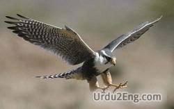 falcon Urdu Meaning