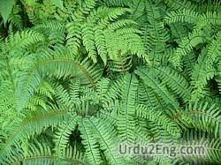 fern Urdu Meaning