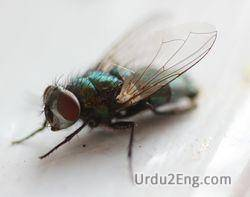 fly Urdu Meaning