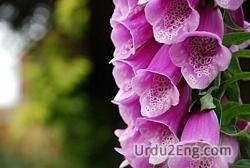 foxglove Urdu Meaning